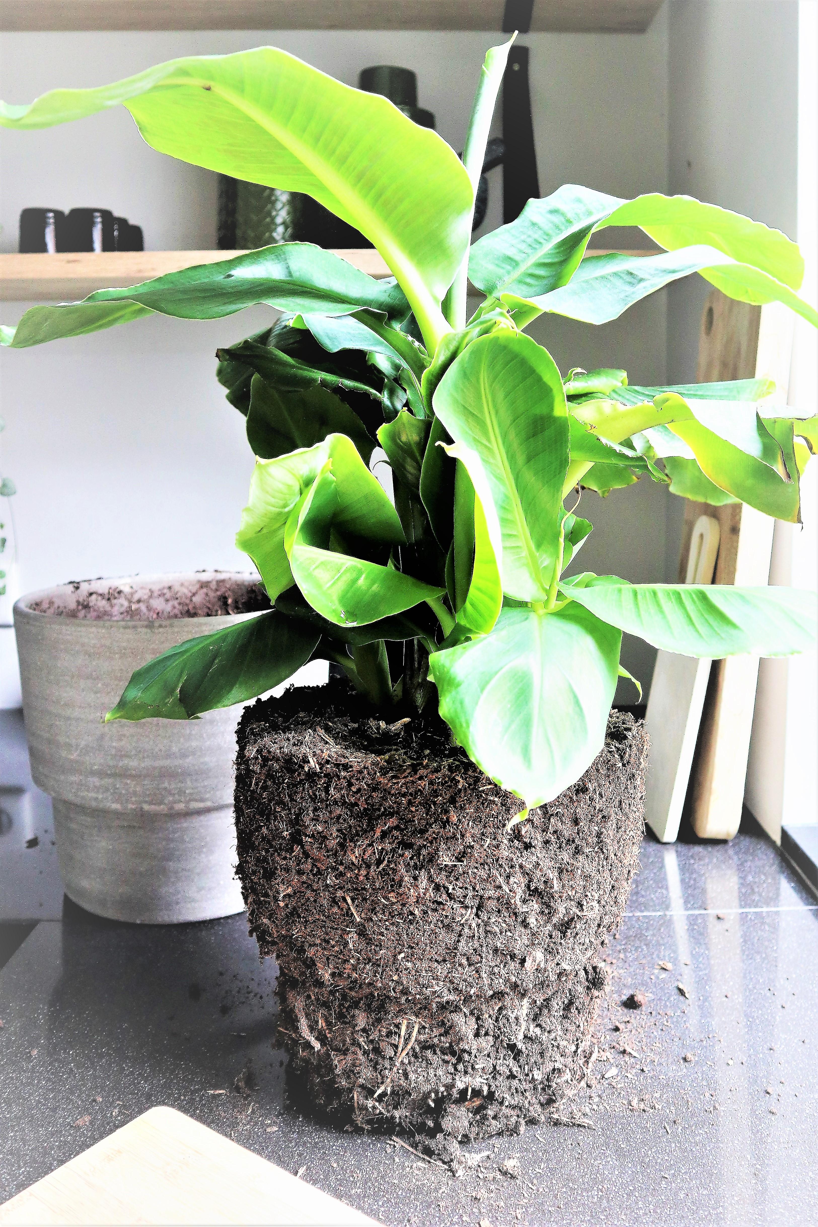 Bananenplant stekken en verzorgen